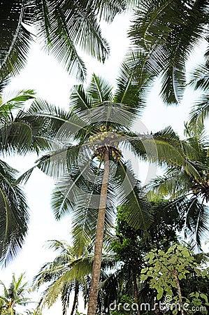 Big Coconut Tree