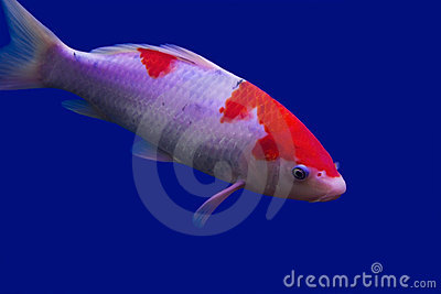 Big colorful Koi carp