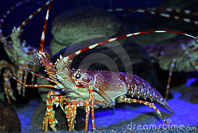 Big crayfish