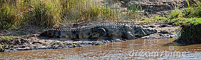 Big crocodile lies on the river bank