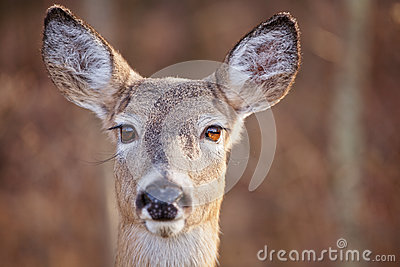 Big Doe Eyes