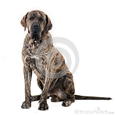 Free Big Dog Sitting Royalty Free Stock Images - 27646559