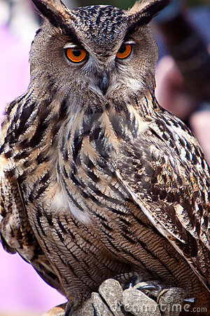 Free Big Eagle Owl In Closeup Royalty Free Stock Photos - 14691128