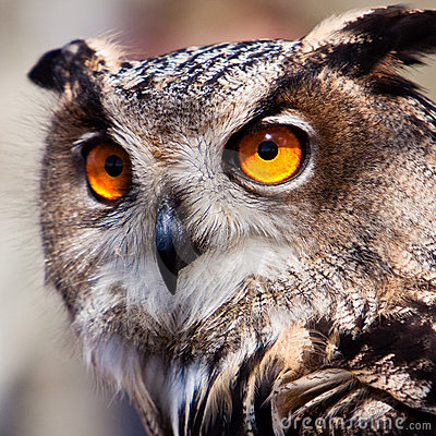 Free Big Eagle Owl In Closeup Stock Images - 14691164