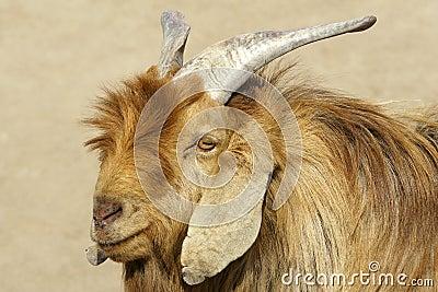 Big-ear sheep