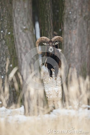 Free Big European Moufflon In The Forest Royalty Free Stock Photo - 81256695