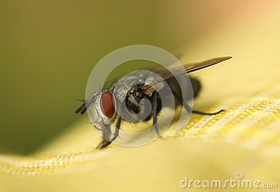 Big eyed fly