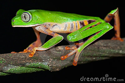 big eyed green tree frog tropical jungle amphibian