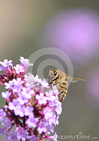 Free Big Eyed Honey Bee On Purple Verbena With Bokeh Background Stock Image - 112143781