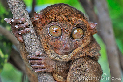 Big-eyed Tarsier