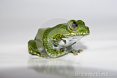 Big-eyed tree frog (14) leptopelis vermiculatus, focus is on the