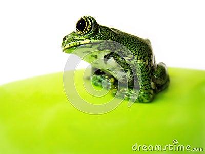 Big-eyed tree frog (11) leptopelis vermiculatus