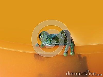 Big-eyed tree frog (5) leptopelis vermiculatus