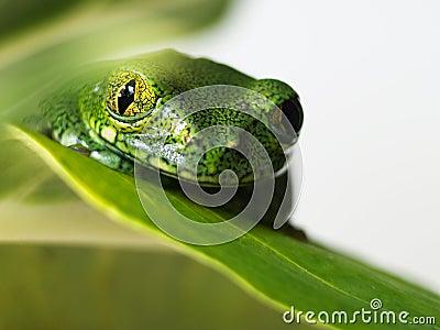 Big-eyed tree frog (1) leptopelis vermiculatus