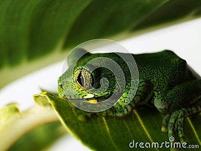 Big-eyed tree frog leptopelis vermiculatus