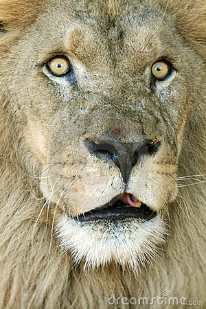 Big eyes lion