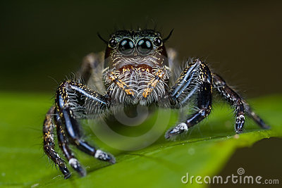 Big female jumping spider