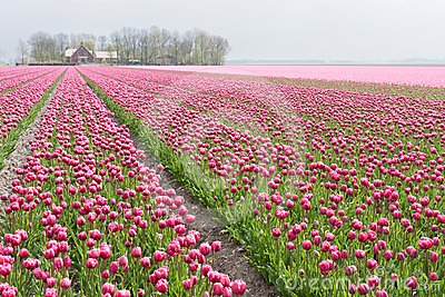 Big field with numerous of red and purple tulips