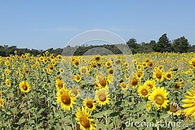 Big field of sunflowers.