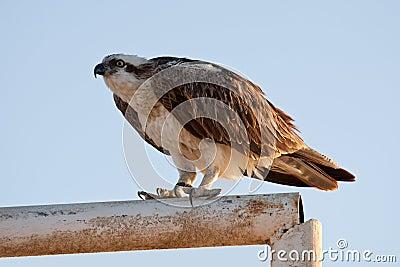 Big fish hawk