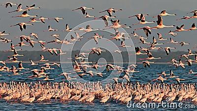 Big flock pink flamingos flies over the lake