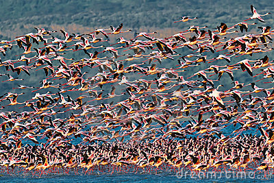 Big flock pink flamingos flies over the lake