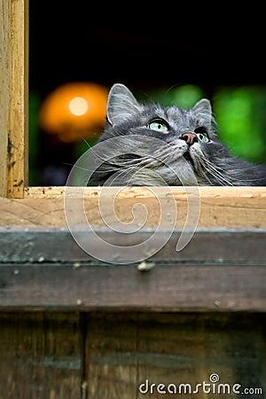 Big fluffy grey cat