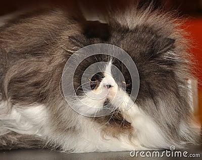 Big fluffy Persian cat