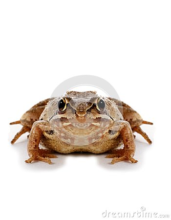 Free Big Frog Stock Photo - 26111160