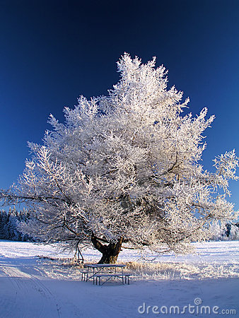 Big frozen tree in sunshine
