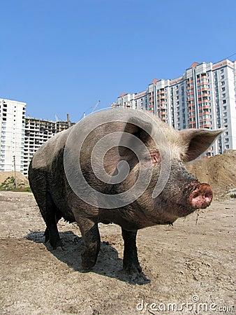 Big funny pig