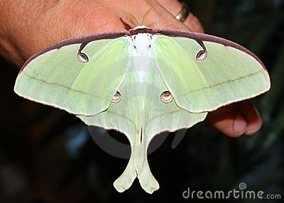 A big Giant Silk Moth butterfly, Luna Moth