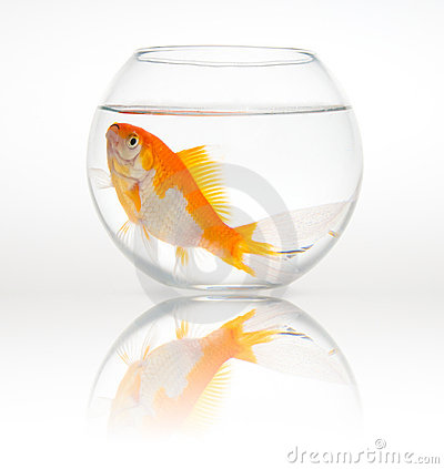 Big goldfish in a small bowl stock photos image 9658283 for Petco fish bowl