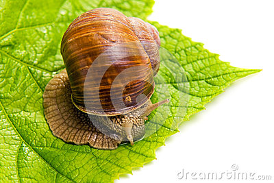 The Big Grape Snail Stock Photography - Image: 25535062