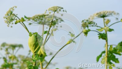 Big green bud of poisonous plant Giant Hogweed Heracleum or Cow Parsnip with the same flowering plants on the background stock video