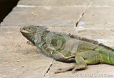 The big green iguana lies on a stone