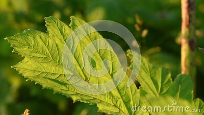 Big green leaf of dangerous poison plant Giant Hogweed close up. Also known as Heracleum or Cow Parsnip stock footage