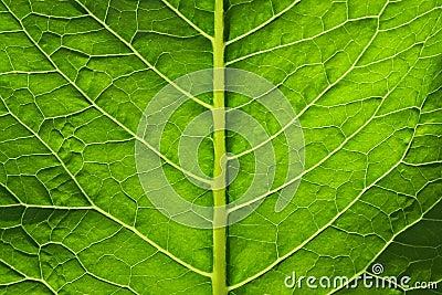 Big green leaf of a plant