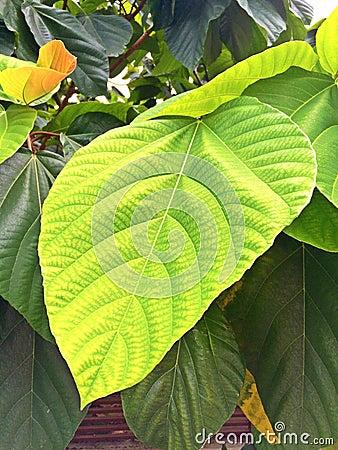 Big Green Leaf Stock Photo Image 54521467