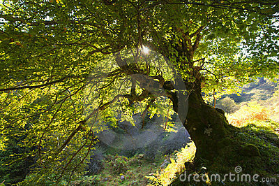 A big green tree under the sun light
