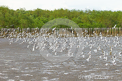 Big group of Brown headed Gull flying