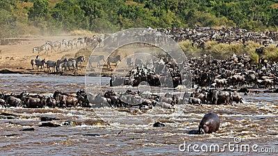 Big group of wildebeest crossing the river Mara