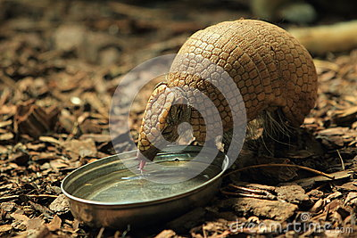 Big hairy armadillo