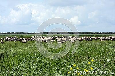 Big herd wild horses