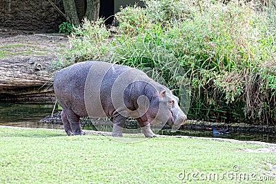Big hippopotamus