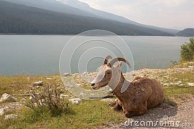 Big Horn at the Lake