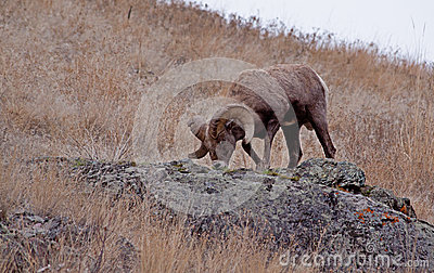 Big Horn Ram Feeding