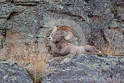 Big Horn Ram On Ledge