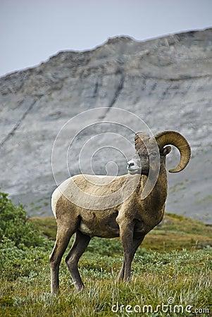 Free Big Horn Sheep Stock Photo - 6407750