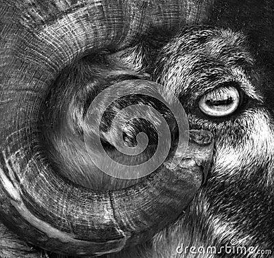 Free Big Horn Sheep. Big Horn Sheep Ram Looking Over A Ledge A Stock Photos - 80529913